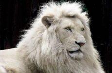 Белый лев животное. Описание, особенности, образ жизни и среда обитания белого льва