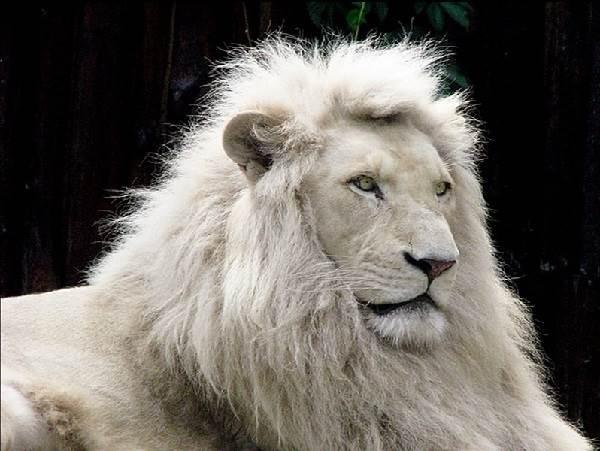 Белый-лев-животное-Описание-особенности-образ-жизни-и-среда-обитания-белого-льва-1
