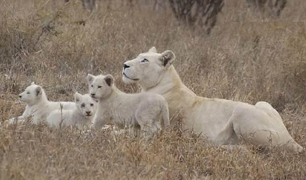 Белый-лев-животное-Описание-особенности-образ-жизни-и-среда-обитания-белого-льва-2