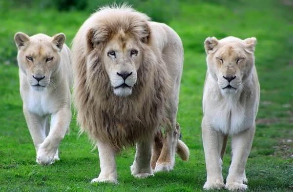 Белый-лев-животное-Описание-особенности-образ-жизни-и-среда-обитания-белого-льва-4