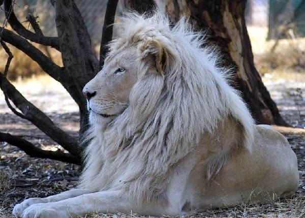 Белый-лев-животное-Описание-особенности-образ-жизни-и-среда-обитания-белого-льва-6