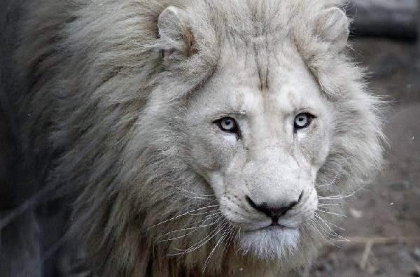 Белый-лев-животное-Описание-особенности-образ-жизни-и-среда-обитания-белого-льва-7