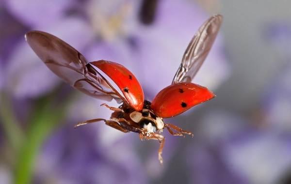 Божья-коровка-насекомое-Описание-особенности-виды-и-среда-обитания-божьей-коровки-17