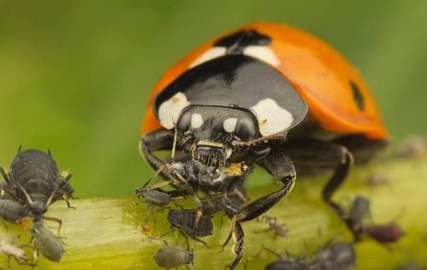 Божья-коровка-насекомое-Описание-особенности-виды-и-среда-обитания-божьей-коровки-18
