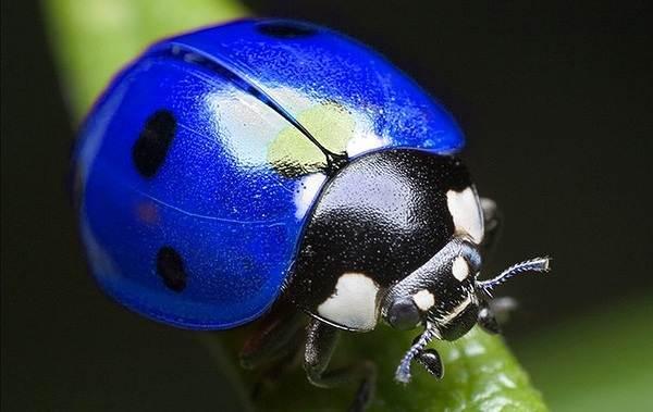 Божья-коровка-насекомое-Описание-особенности-виды-и-среда-обитания-божьей-коровки-23