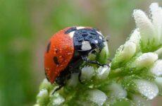 Божья коровка насекомое. Описание, особенности, виды и среда обитания божьей коровки