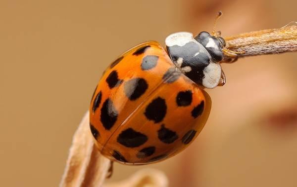 Божья-коровка-насекомое-Описание-особенности-виды-и-среда-обитания-божьей-коровки-8