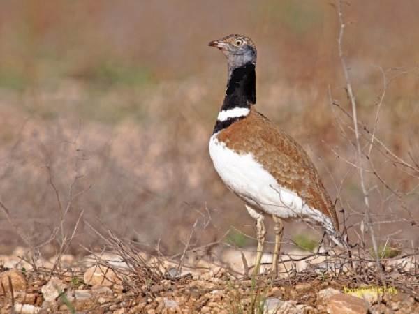 Дрофа-птица-Описание-особенности-виды-образ-жизни-и-среда-обитания-дрофы-10