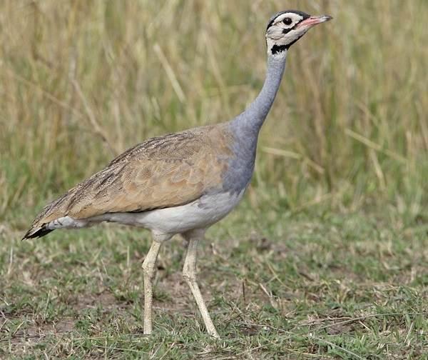 Дрофа-птица-Описание-особенности-виды-образ-жизни-и-среда-обитания-дрофы-11