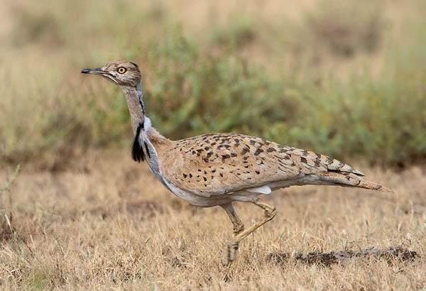 Дрофа-птица-Описание-особенности-виды-образ-жизни-и-среда-обитания-дрофы-12