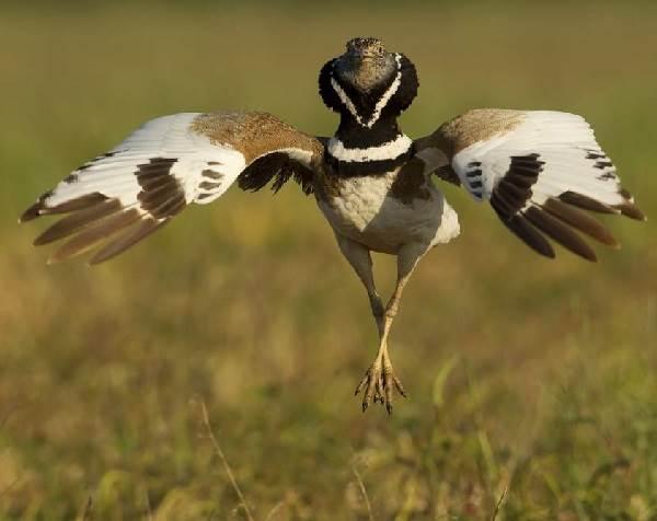 Дрофа-птица-Описание-особенности-виды-образ-жизни-и-среда-обитания-дрофы-13