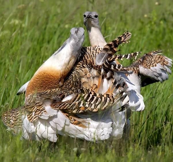 Дрофа-птица-Описание-особенности-виды-образ-жизни-и-среда-обитания-дрофы-2