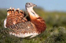 Дрофа птица. Описание, особенности, виды, образ жизни и среда обитания дрофы