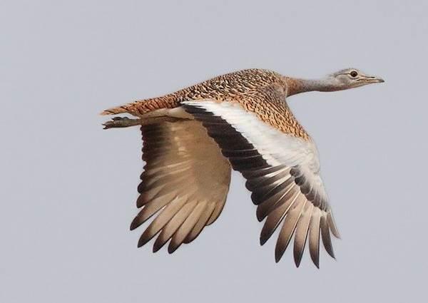 Дрофа-птица-Описание-особенности-виды-образ-жизни-и-среда-обитания-дрофы-4