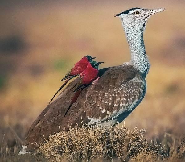 Дрофа-птица-Описание-особенности-виды-образ-жизни-и-среда-обитания-дрофы-5