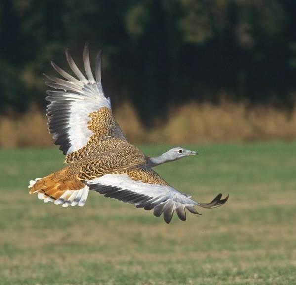 Дрофа-птица-Описание-особенности-виды-образ-жизни-и-среда-обитания-дрофы-6