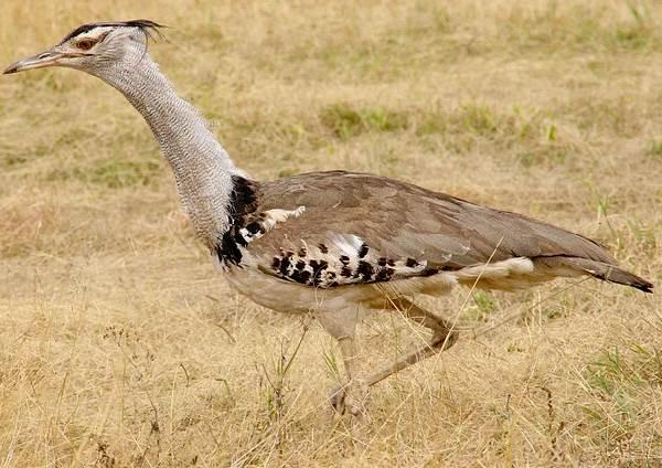 Дрофа-птица-Описание-особенности-виды-образ-жизни-и-среда-обитания-дрофы-8