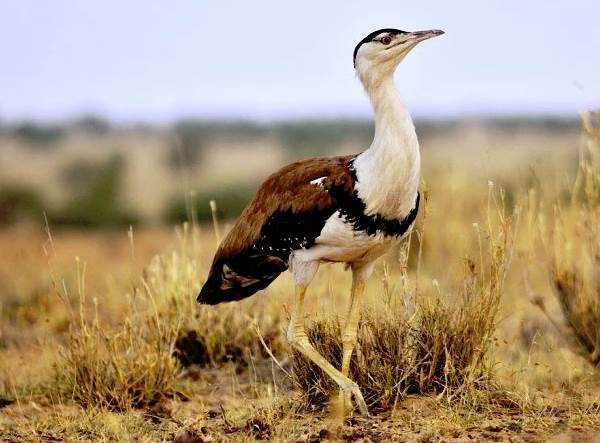 Дрофа-птица-Описание-особенности-виды-образ-жизни-и-среда-обитания-дрофы-9