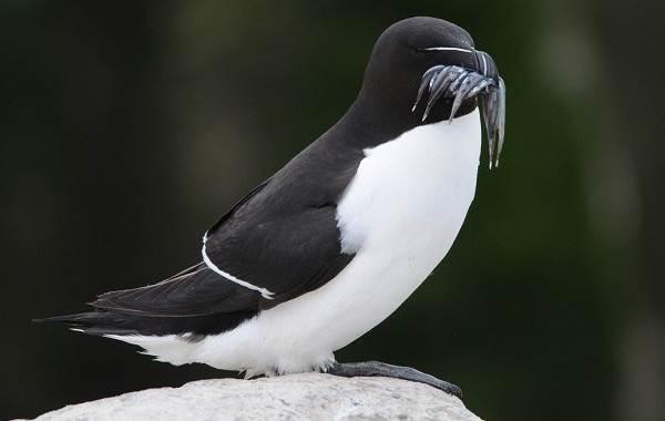 Гагарка-птица-Описание-особенности-виды-образ-жизни-и-среда-обитания-гагарки-10