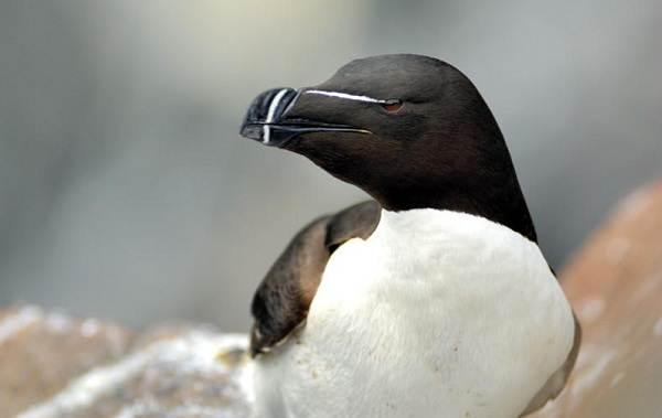 Гагарка-птица-Описание-особенности-виды-образ-жизни-и-среда-обитания-гагарки-11