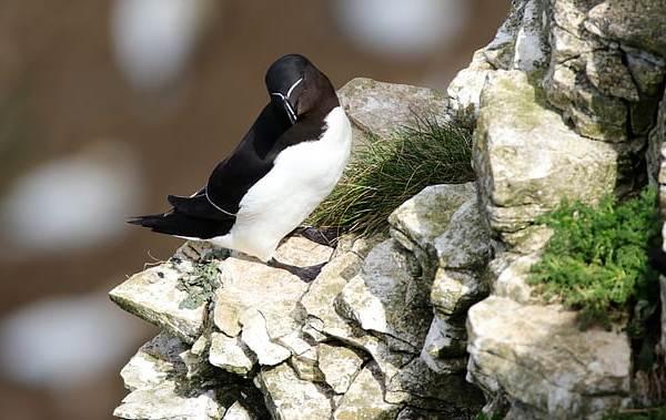 Гагарка-птица-Описание-особенности-виды-образ-жизни-и-среда-обитания-гагарки-15