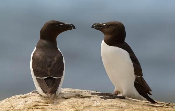 Гагарка-птица-Описание-особенности-виды-образ-жизни-и-среда-обитания-гагарки-17