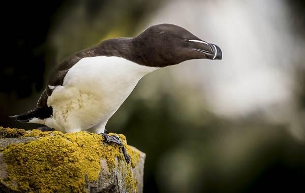 Гагарка-птица-Описание-особенности-виды-образ-жизни-и-среда-обитания-гагарки-2