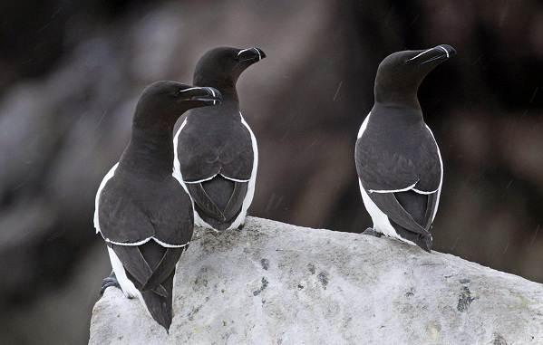 Гагарка-птица-Описание-особенности-виды-образ-жизни-и-среда-обитания-гагарки-4
