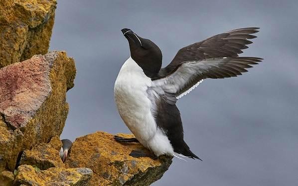 Гагарка-птица-Описание-особенности-виды-образ-жизни-и-среда-обитания-гагарки-5