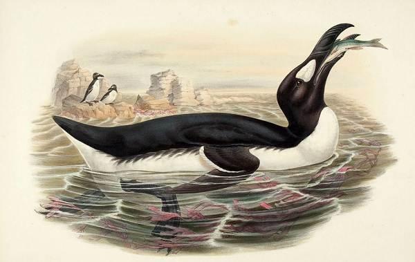 Гагарка-птица-Описание-особенности-виды-образ-жизни-и-среда-обитания-гагарки-8