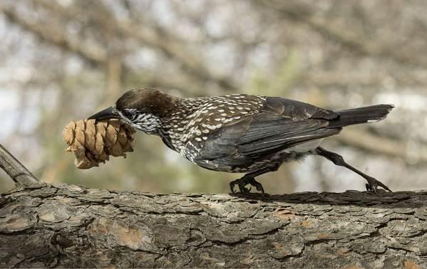 Кедровка-птица-Описание-особенности-виды-образ-жизни-и-среда-обитания-кедровки-1