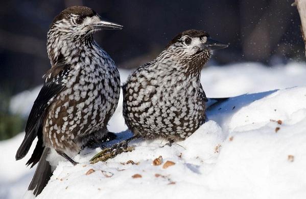 Кедровка-птица-Описание-особенности-виды-образ-жизни-и-среда-обитания-кедровки-12