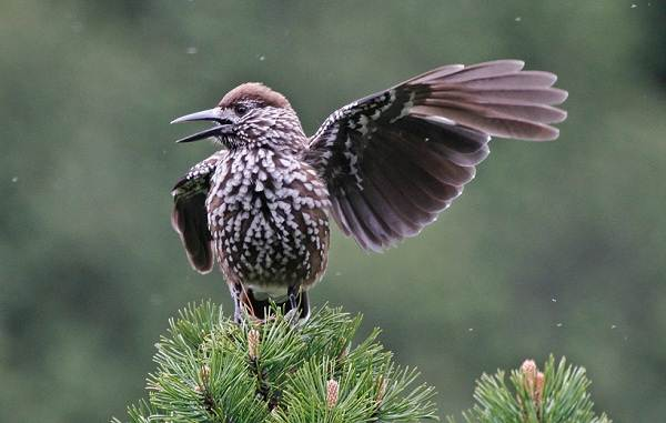 Кедровка-птица-Описание-особенности-виды-образ-жизни-и-среда-обитания-кедровки-14