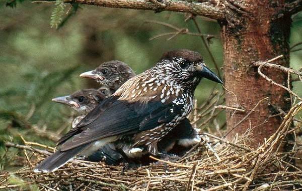 Кедровка-птица-Описание-особенности-виды-образ-жизни-и-среда-обитания-кедровки-15