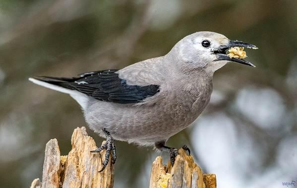 Кедровка-птица-Описание-особенности-виды-образ-жизни-и-среда-обитания-кедровки-17