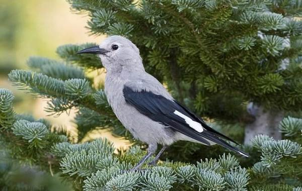 Кедровка-птица-Описание-особенности-виды-образ-жизни-и-среда-обитания-кедровки-18