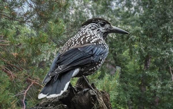 Кедровка-птица-Описание-особенности-виды-образ-жизни-и-среда-обитания-кедровки-2