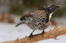 Кедровка птица. Описание, особенности, виды, образ жизни и среда обитания кедровки