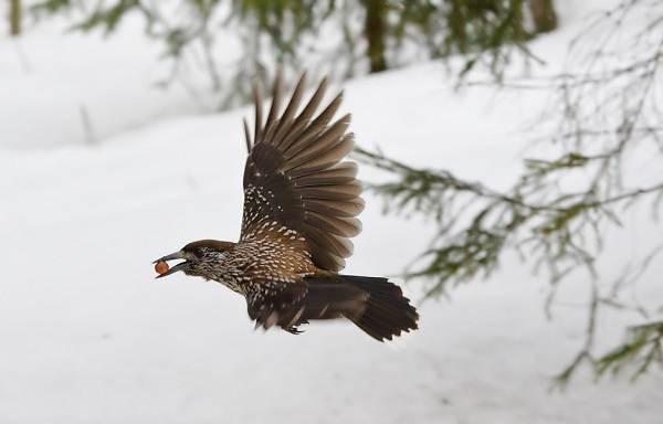 Кедровка-птица-Описание-особенности-виды-образ-жизни-и-среда-обитания-кедровки-5