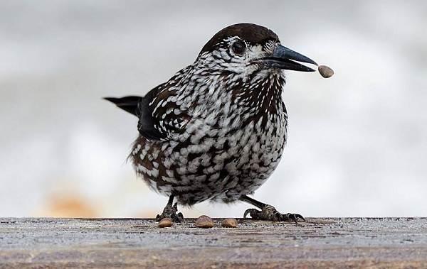 Кедровка-птица-Описание-особенности-виды-образ-жизни-и-среда-обитания-кедровки-6