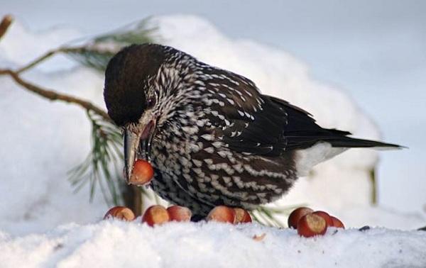 Кедровка-птица-Описание-особенности-виды-образ-жизни-и-среда-обитания-кедровки-8