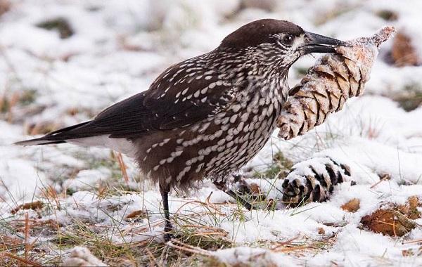 Кедровка-птица-Описание-особенности-виды-образ-жизни-и-среда-обитания-кедровки-9
