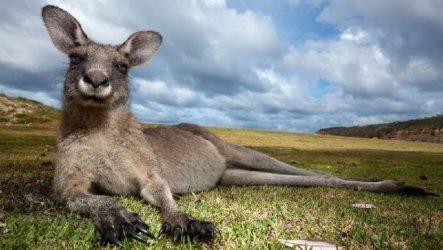 Кенгуру животное. Описание, особенности, виды, образ жизни и среда обитания кенгуру