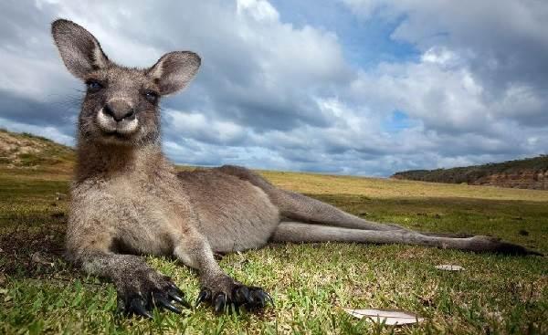 Кенгуру-животное-Описание-особенности-виды-образ-жизни-и-среда-обитания-кенгуру-1
