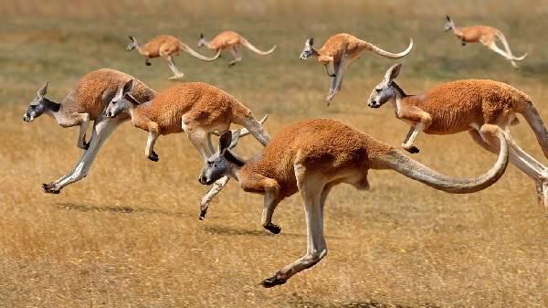 Кенгуру-животное-Описание-особенности-виды-образ-жизни-и-среда-обитания-кенгуру-10