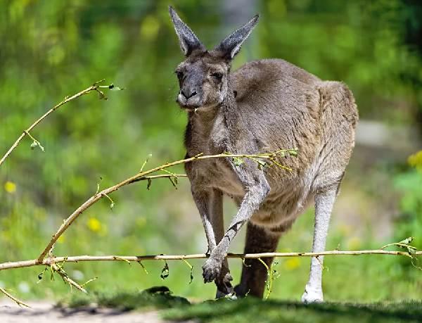 Кенгуру-животное-Описание-особенности-виды-образ-жизни-и-среда-обитания-кенгуру-11