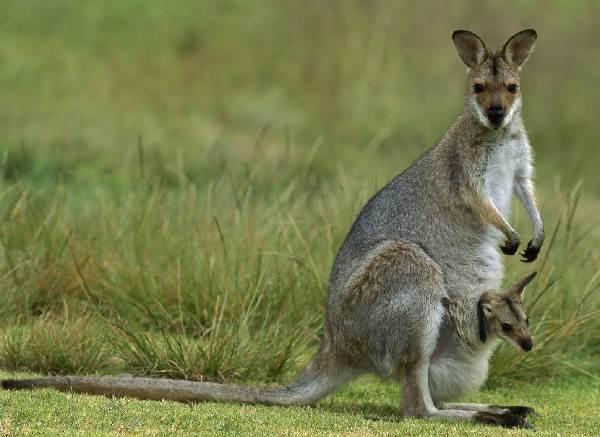 Кенгуру-животное-Описание-особенности-виды-образ-жизни-и-среда-обитания-кенгуру-12