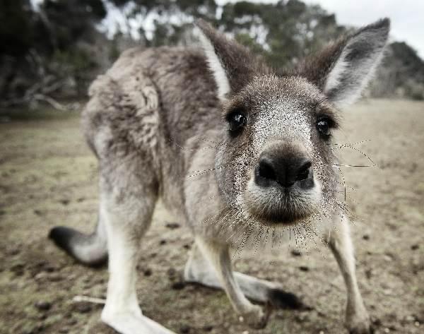 Кенгуру-животное-Описание-особенности-виды-образ-жизни-и-среда-обитания-кенгуру-4
