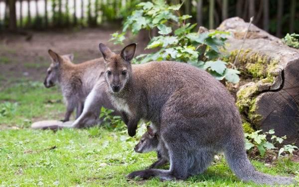 Кенгуру-животное-Описание-особенности-виды-образ-жизни-и-среда-обитания-кенгуру-5