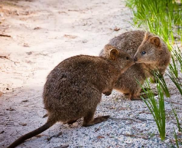 Кенгуру-животное-Описание-особенности-виды-образ-жизни-и-среда-обитания-кенгуру-7